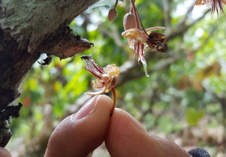Eine Kakaoblüte wird von einer winzigen parasitären Wespe besucht.