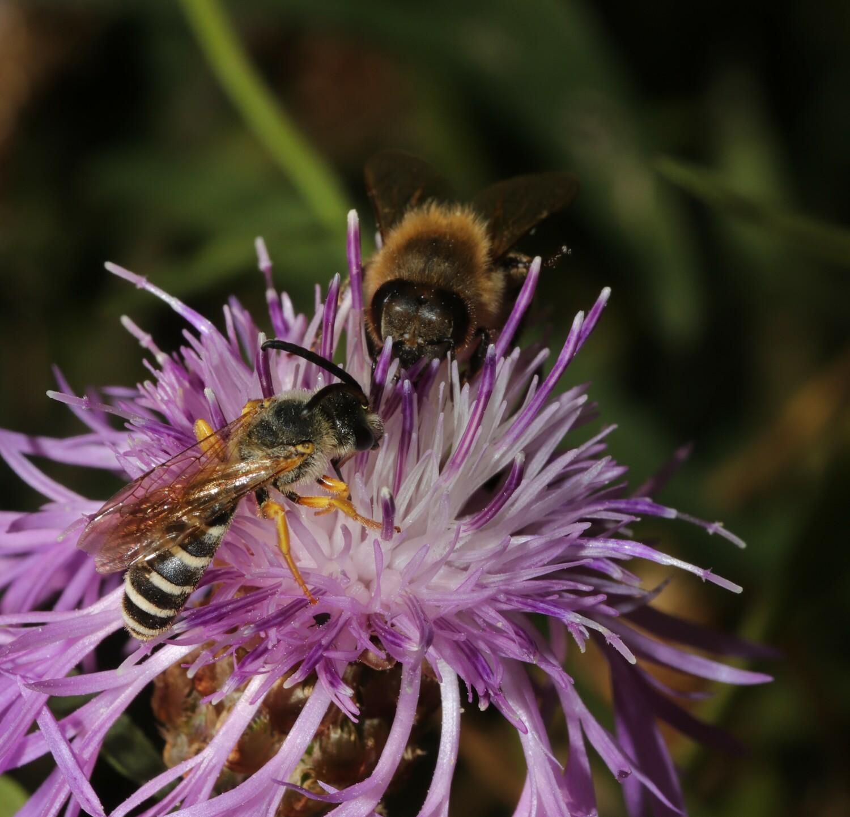 Ein neues Forschungsprojekt der Universitäten Göttingen und Halle untersucht, welche Auswirkungen verschiedene Kombinationen ökologischer Maßnahmen auf die Diversität, Populationsentwicklung und Gesundheit von Bienen haben können.