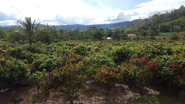 Von Kakao-Anbau geprägte Landschaft auf Sulawesi (Indonesien).